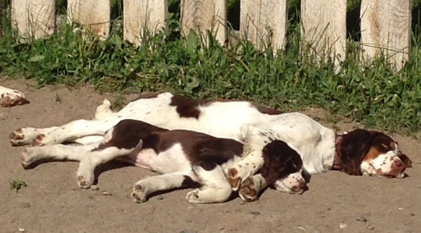 YELLOWSTONE SPRINGERS | Bench & European bred AKC registered