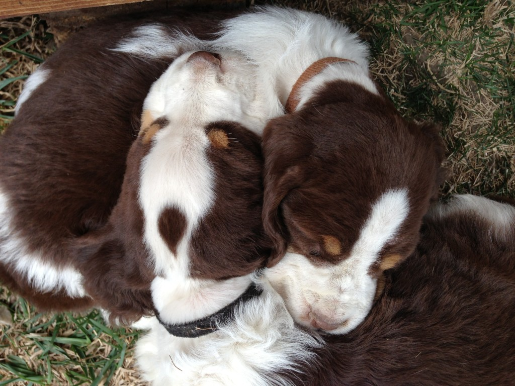 Yellowstone Springers Bench Amp European Bred Akc